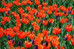 Tulips Field Park Garden Orange